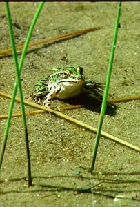 Natural areas provide habitat for many animals and plants, like this leopard frog