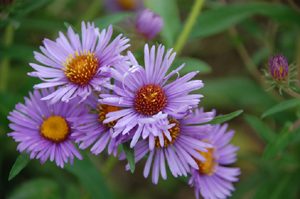 Native Plant New England Aster