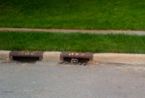 raccoon in storm drain