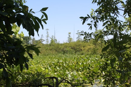 A tantalizing copse of tamarack grow out beyond the lily pads - good indicators of a fen or bog ecosystem.