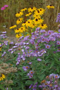 Native New England Asters and Black Eyed Susans at the Prairie Briarcliff Rain Garden in Ann Arbor.
