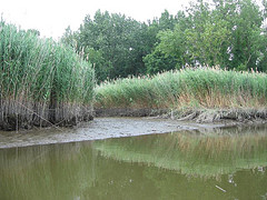 Phragmites is an invasive grass forming dense stands in wet areas of the Huron River watershed