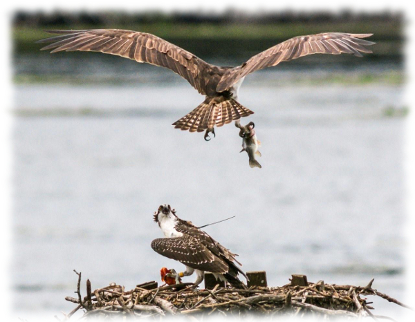 A female osprey brings a fish to her fledging at Kensington Metropark.