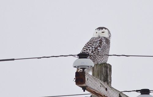 Snowy Owl. Photo credit: Zak Pohlen. Creative Commons.
