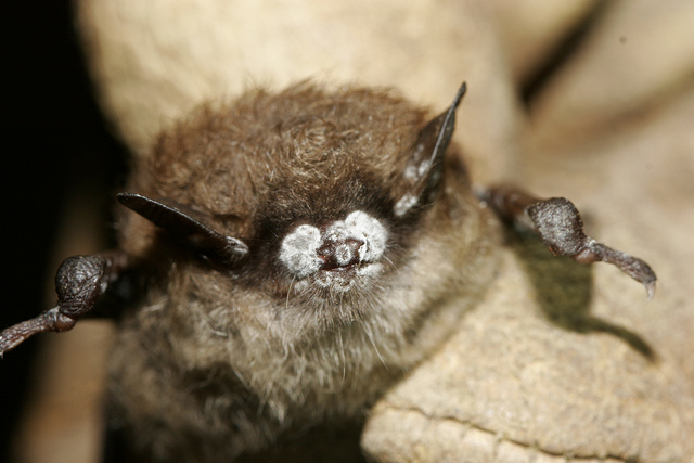 Bat with White-nose Syndrome - a disease recently found in Michigan. Credit: Photo courtesy Ryan von Linden/New York Department of Environmental Conservation