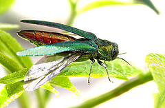 Adult Emerald Ash Borer. Image courtesy of U.S. Department of Agriculture.