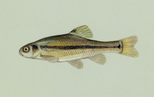 A fathead minnow, one of the aquatic species used to determine coal-tar toxicity in this study.