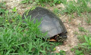 A turtle greets me on the Milford Trail.