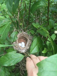 Robin's nest in a buttonbush swamp