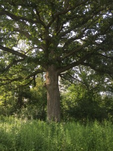 Open grown oak, Northfield Township