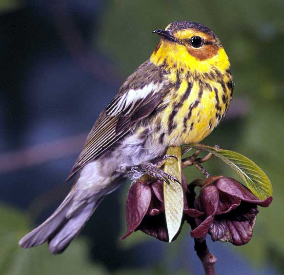The Cape May Warbler. credit: USFWS