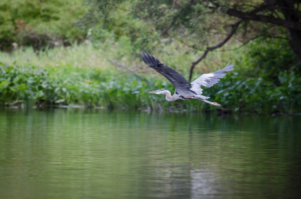 The Great Blue Heron in flight. credit: John Lloyd