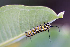 The Monarch caterpillar: loved by elementary students everywhere! Who hasn't raised one of these in a classroom? credit: USFWS