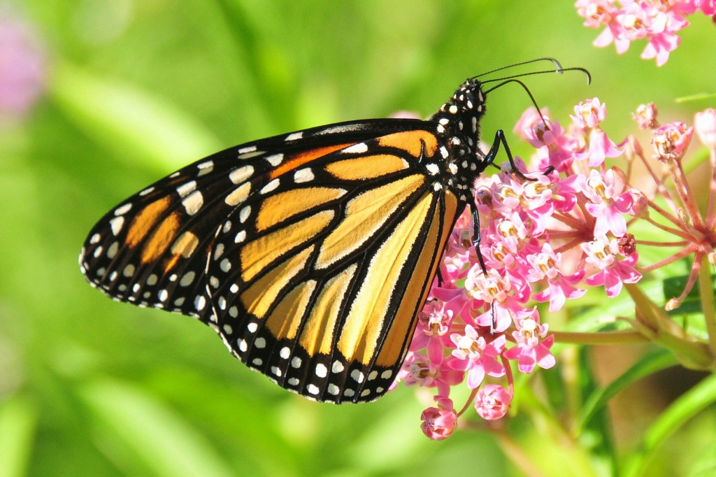The Monarch. credit: USFWS