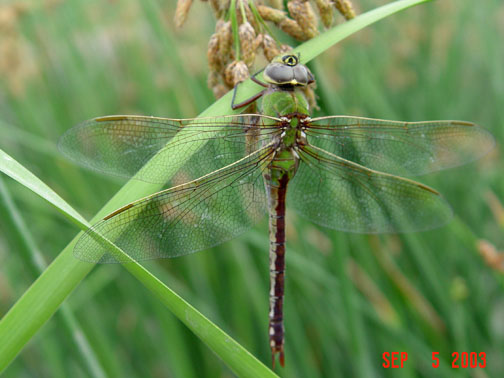 The Commond Green Darner is the most abundant migrating dragonfly in the U.S. credit: U.S. Fish and Wildlife