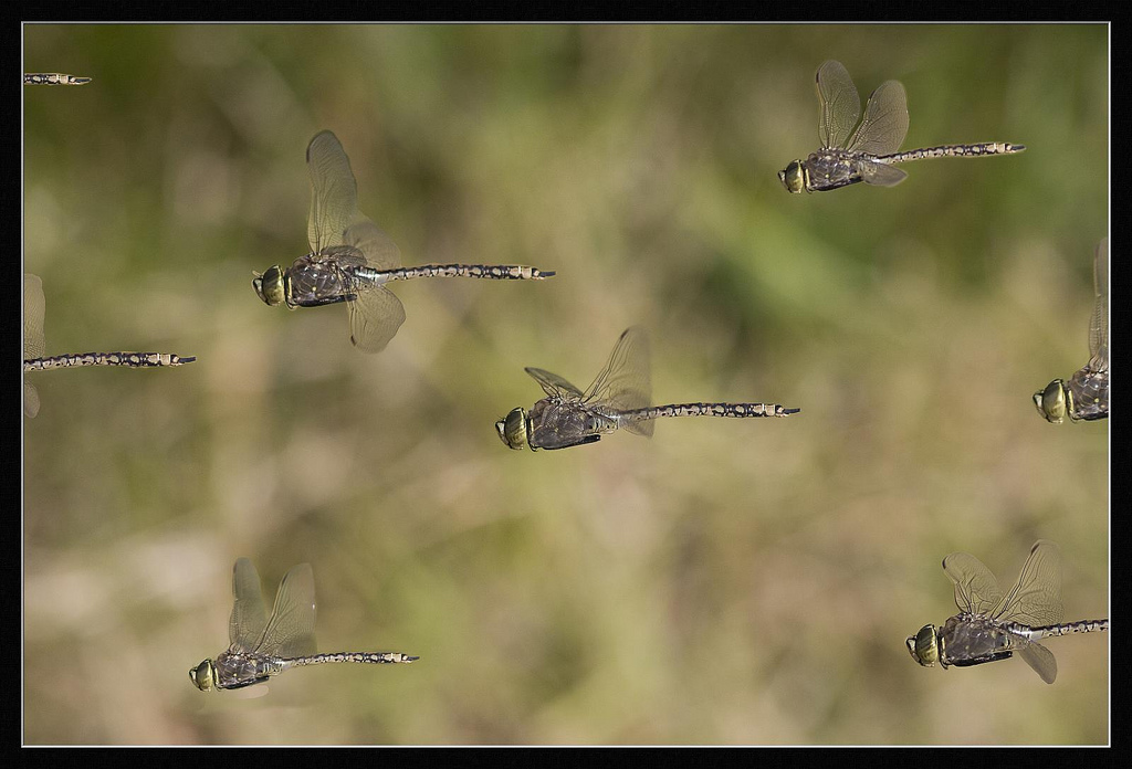 Dragonfly swarming behavior. Photo copyright Steven Young and taken from http://www.flickr.com/photos/steven-young/2893876500/.