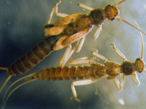 The slender winter stonefly, Capniidae.  Credit: www.troutnut.com