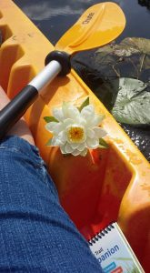 A beautiful water lily from Kent Lake decorates my kayak.