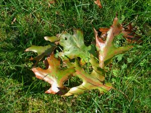 Oak wilt-infected leaves. Photo: Rebecca Finneran, MSU Extension. Source Legacy Land Conservancy