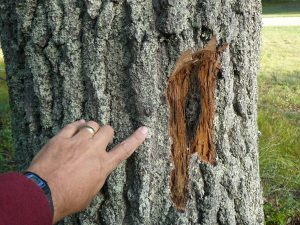 Bark infected with oak wilt. Photo: Bill Cook, MUS Extension. Source Legacy Land Conservancy