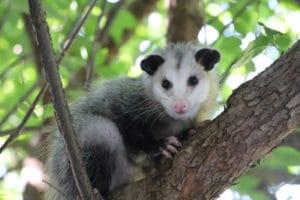 Opossum in a tree in Ann Arbor by Corey Seeman