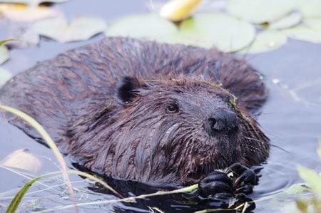 Beavers provide many ecosystem benefits