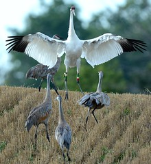 A whooping crane seen with its wing spread along with three sandhill cranes.