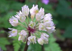 Wild Leek Allium tricoccum